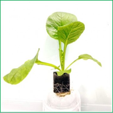 KOMATSUNA Matured Seedling  (ready to transplant to  Hydroponic Grower )